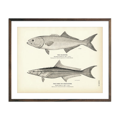 Vintage Bluefish and Cobia fish print