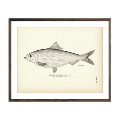 Vintage Branch Herring (Female) fish print