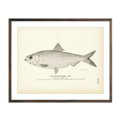Vintage Branch Herring (Male) fish print