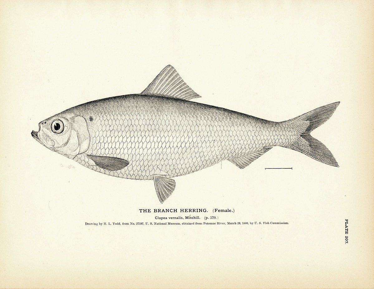 Branch Herring (Female)
