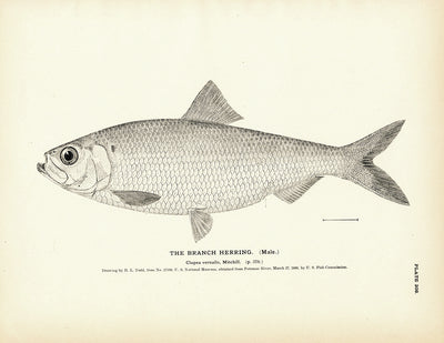 Branch Herring (Male)