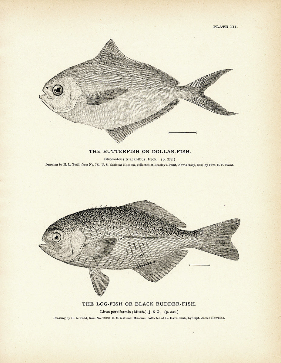 Butterfish (Dollar-Fish) and Log-Fish (Black Rudder-Fish)