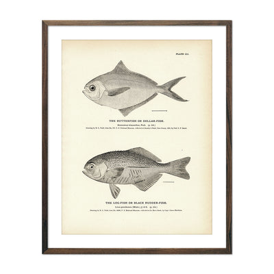 Vintage Butterfish and Log-fish print