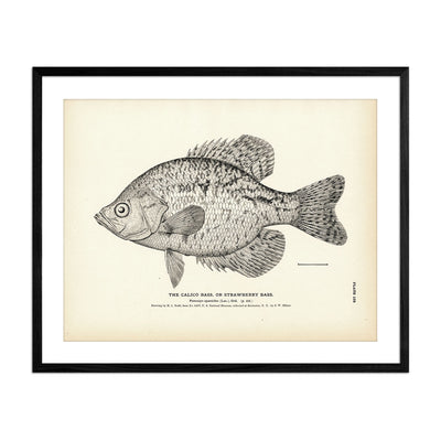 Calico Bass (Strawberry Bass)