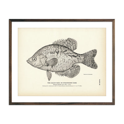 Vintage Calico Bass fish print