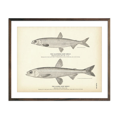 Vintage California and Alaska Surf Smelt fish print
