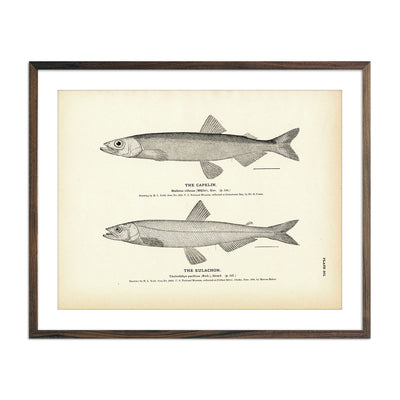 Vintage Capelin and Eulachon fish print
