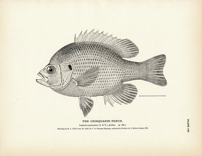 Chinquapin Perch