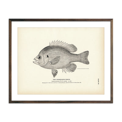 Vintage Chinquapin Perch fish print