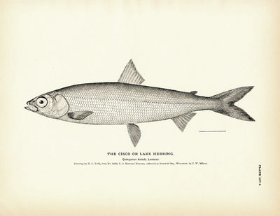 Cisco (Lake Herring)