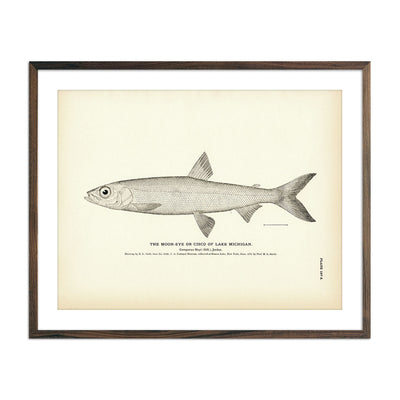 Vintage Cisco of Lake Michigan fish print