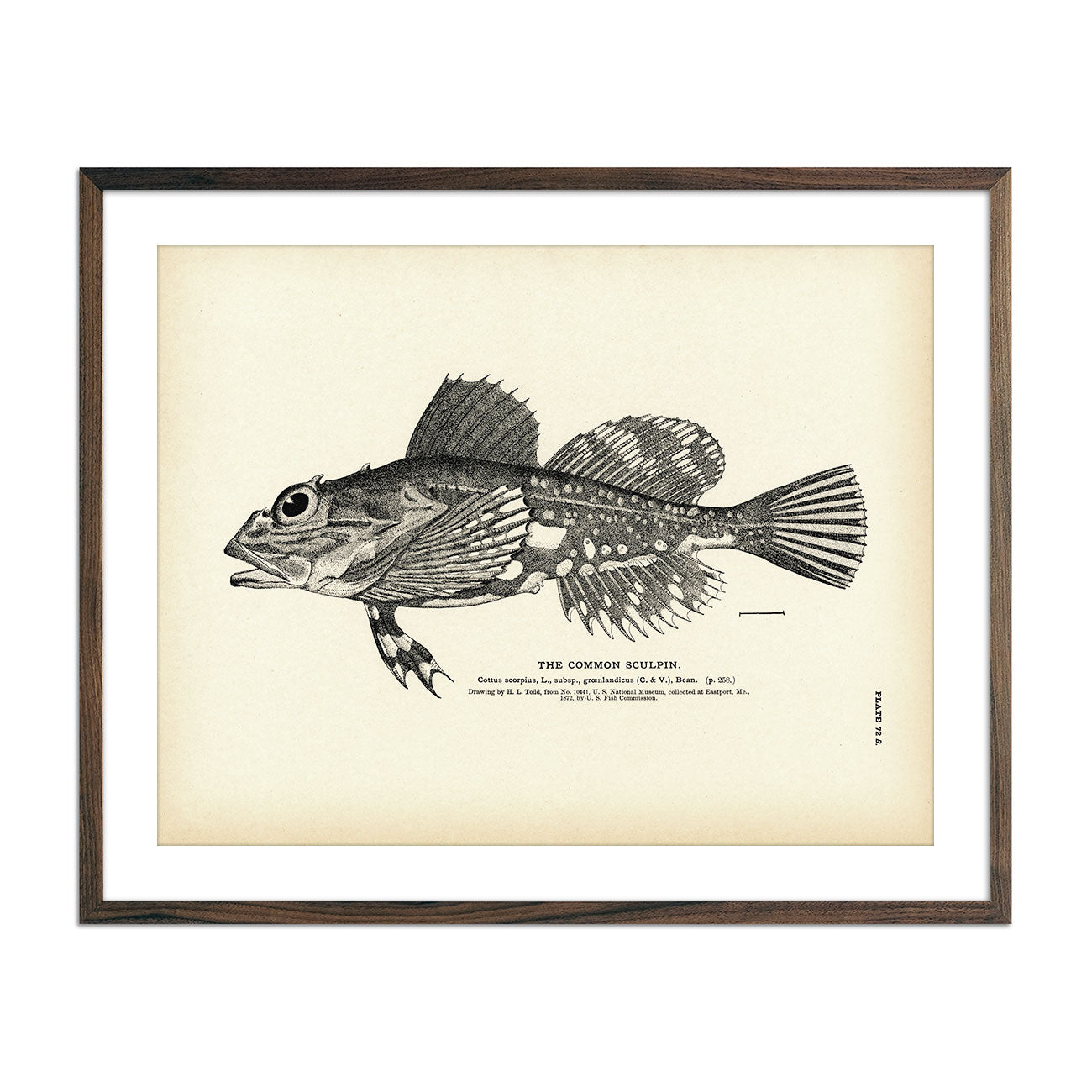 Vintage Common Sculpin print
