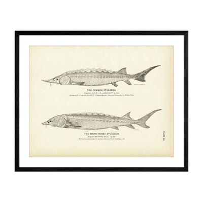 Common Sturgeon and Short-Nosed Sturgeon
