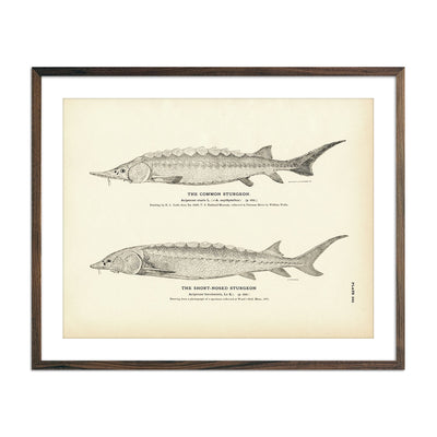 Vintage Common and Short-Nosed Sturgeon print