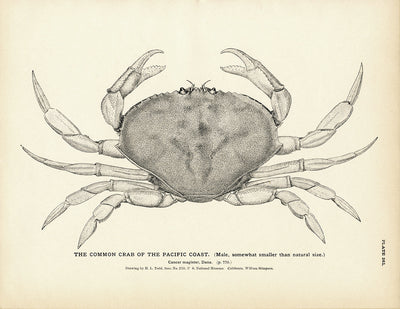 Common Crab of the Pacific Coast