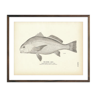 Vintage Drum (Adult) fish print