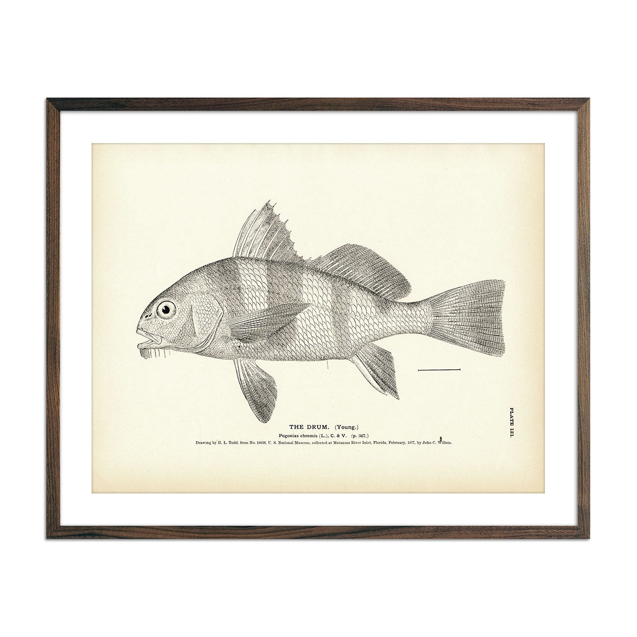 Vintage Drum (Young) fish print