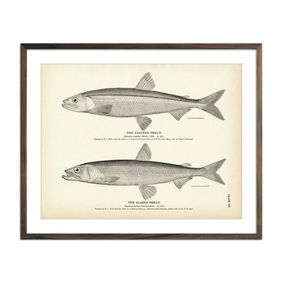 Vintage Eastern and Alaska Smelt fish print