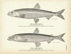 Eastern Smelt and Alaska Smelt