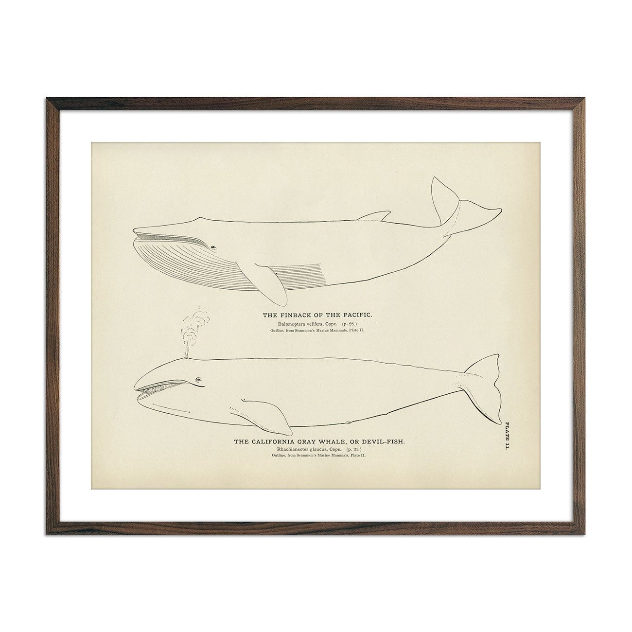 Vintage Finback and California Grey Whale fish print
