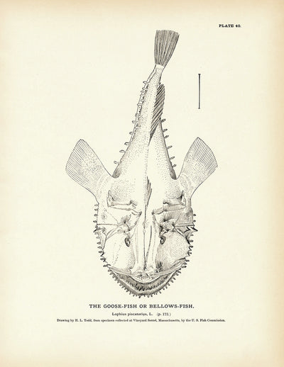 Goose-Fish (Bellows-Fish)