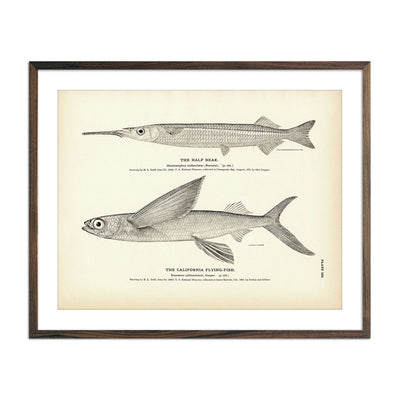 Vintage Half Beak and California Flying-fish print