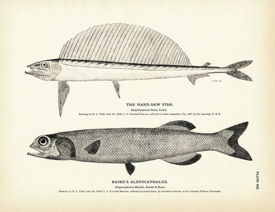 Hand-Saw Fish and Baird's Alepocephalus