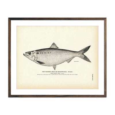 Vintage Hickory Shad (Female) fish print