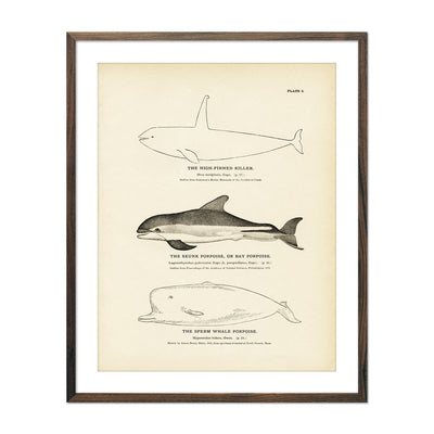 Vintage High Finned Killer, Skunk and Sperm Whale Porpoise fish print