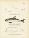 High-Finned Killer, Skunk Porpoise (Bay Porpoise), and Sperm Whale Porpoise