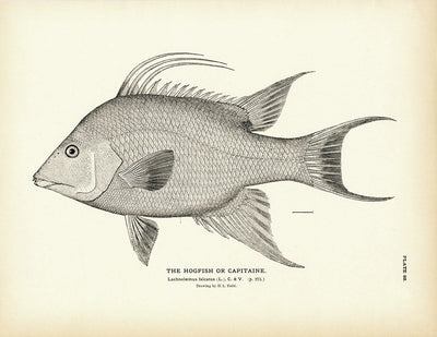 Hogfish (Capitaine)