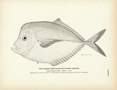 Horse Fish (Blunt-Nosed Shiner)