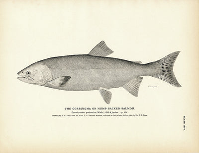 Gorbuscha (Hump-backed Salmon)