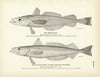 Merluccio and Silver Hake (New England Whiting)