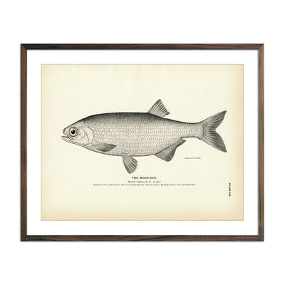 Vintage Moon Eye fish print