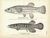 Mummichog and Blackfish of Alaska