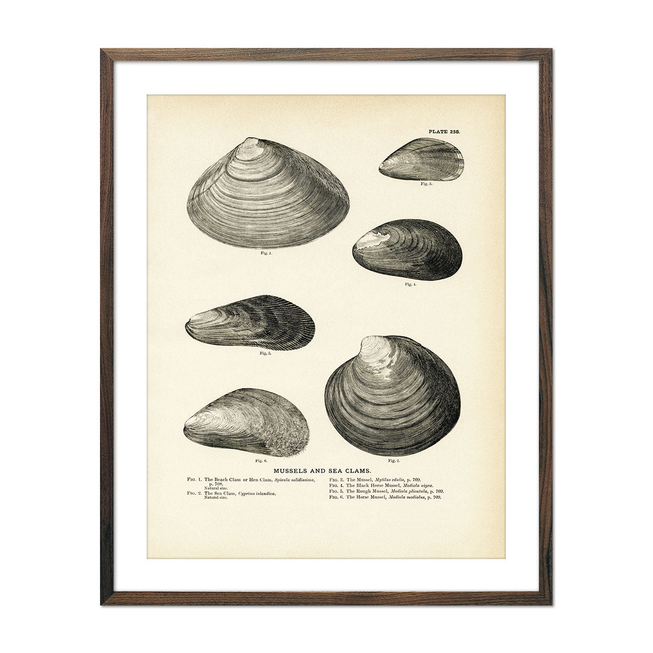Vintage Mussels and Sea Clam - Set 1 fish print