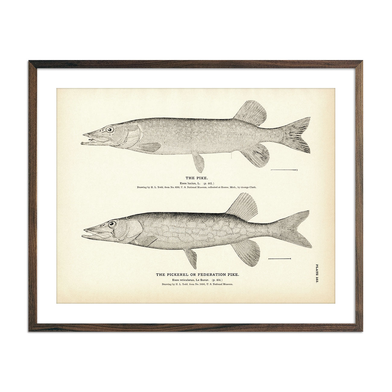 Vintage Pike and Pickerel fish print