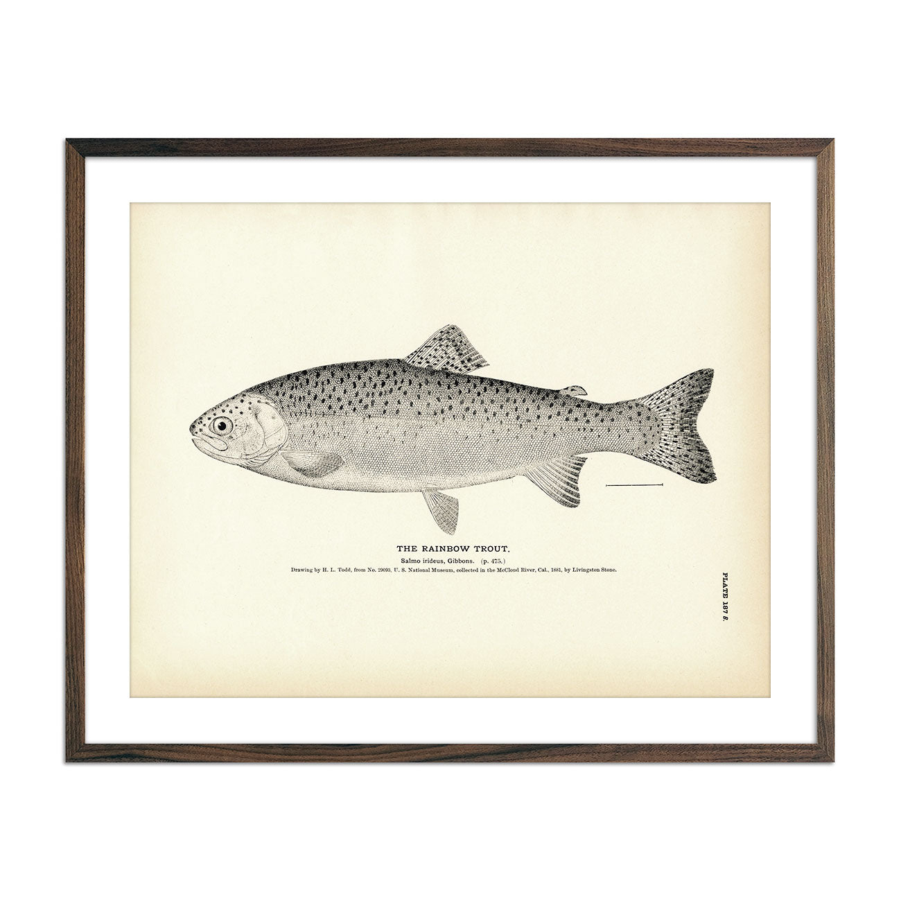Vintage Rainbow Trout fish print