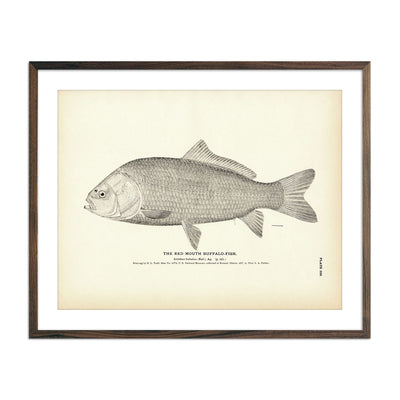 Vintage Red Mouth Buffalo-fish print