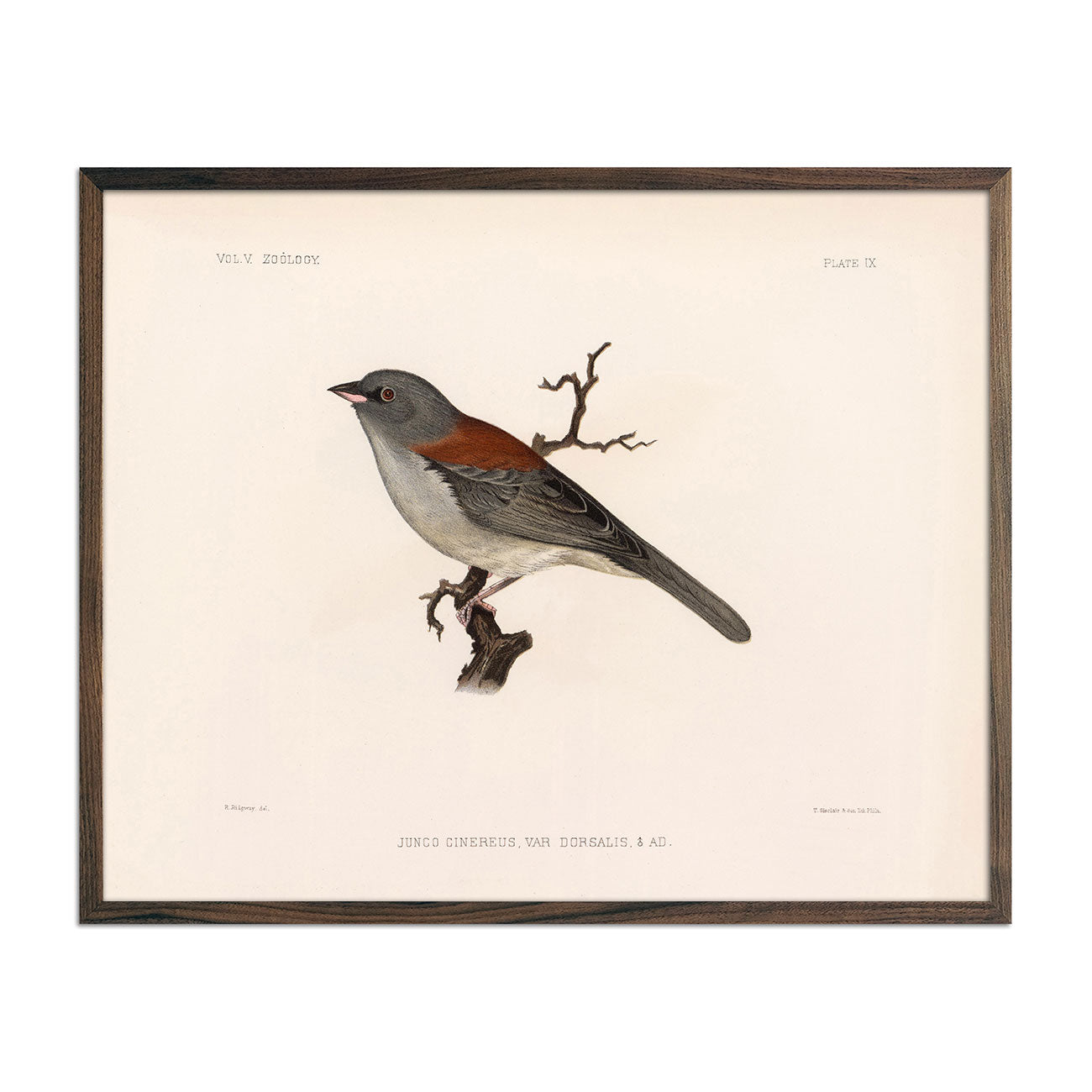 Red-Backed Junco-Male