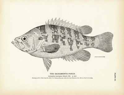 Sacramento Perch