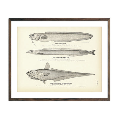 Vintage Sand Cusk, Lant and Onion Fish print