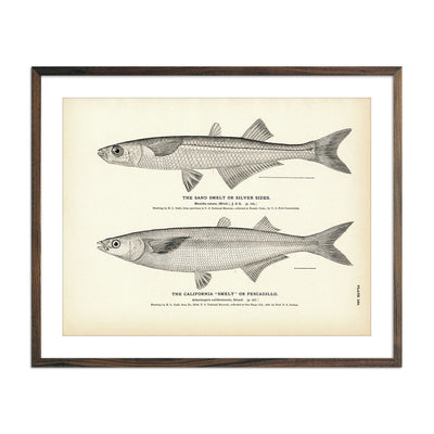 Vintage California and Sand Smelt fish print