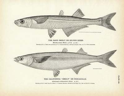 "Sand Smelt (Silver Sides) and California ""Smelt"" (Pescadillo)"