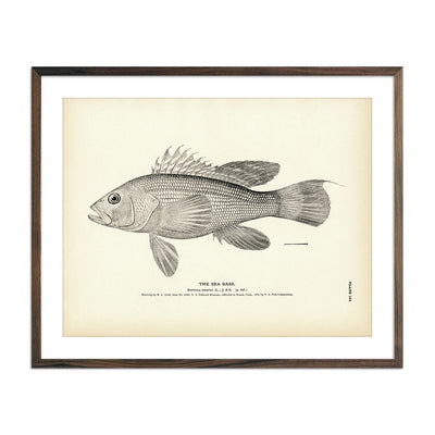 Vintage Sea Bass fish print