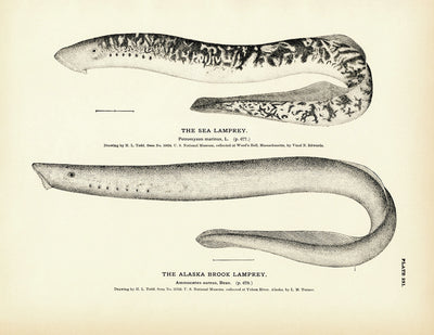 Sea Lamprey and Alaska Brook Lamprey