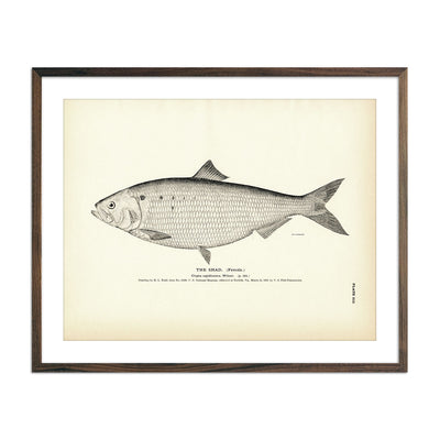 Vintage Shad (Female) fish print