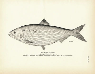 Shad (Female)