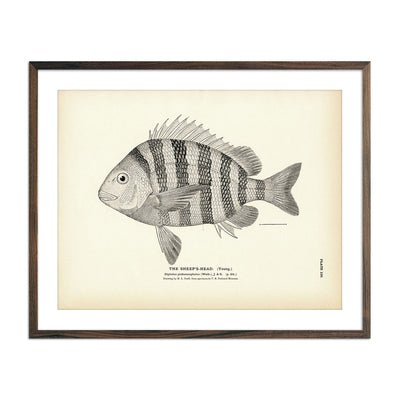 Vintage Sheep's-Head (Young) fish print